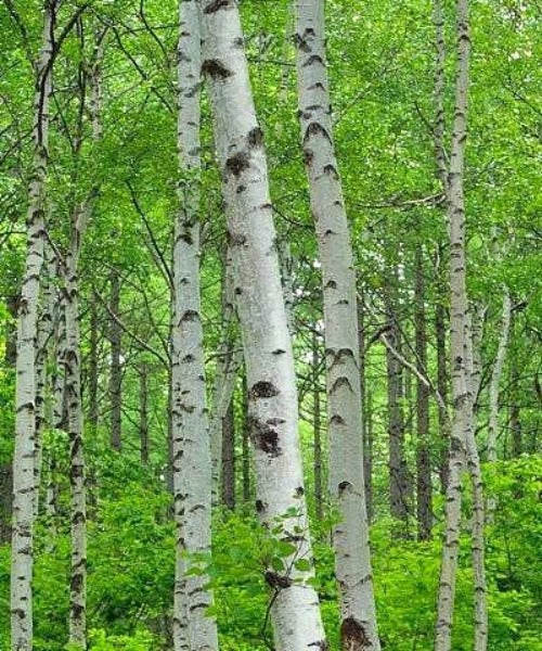 Silver Birch Trees - Betula pendula - Trees by Post