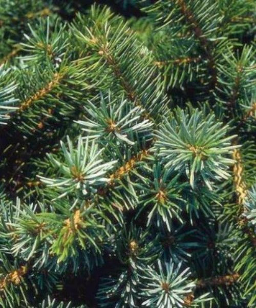 Sitka Spruce Trees - Picea stichensis - Trees to Plant
