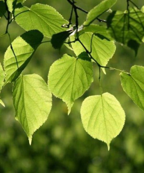 Small Leaved Lime Trees - Tilia cordata - Trees by Post