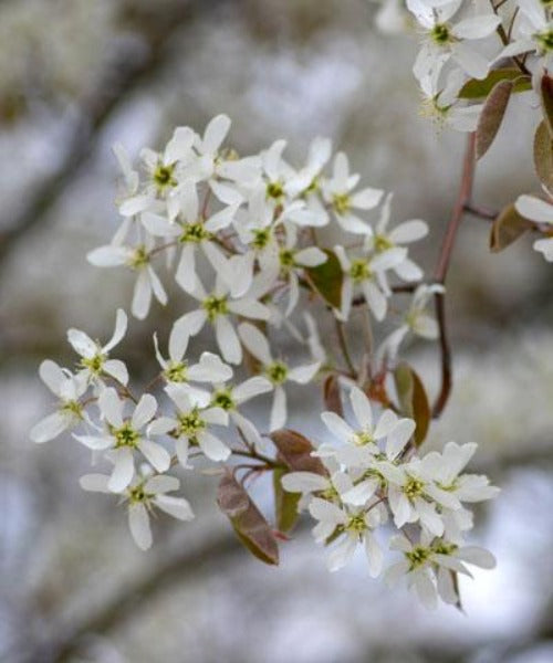 Snowy Mespilus - Amelanchier canadensis