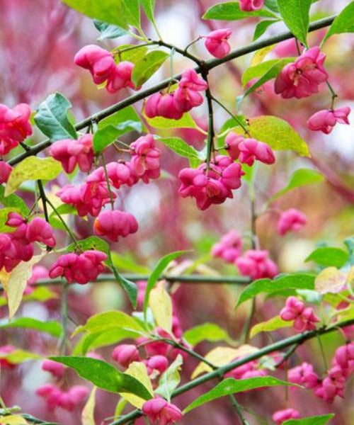 Spindle - Euonymus europaeus - Trees by Post