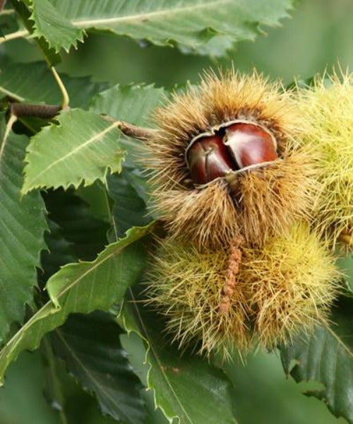 Sweet Chestnut Trees - Castanea sativa - Trees by Post