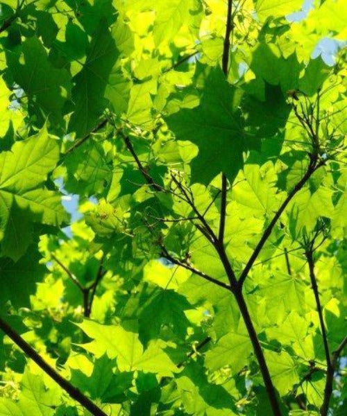 Sycamore Trees - Acer pseudoplatanus - Trees to Plant