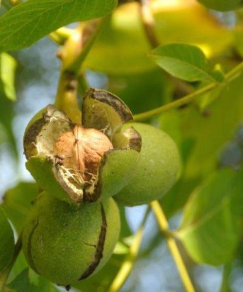 Walnut Trees - Juglans regia - Trees to Plant