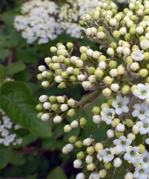 Wayfaring Tree - Viburnum lantana - Trees by Post
