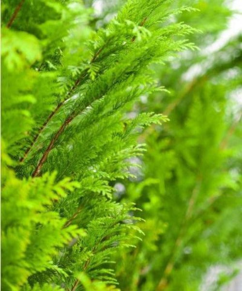 Western Red Cedar Hedging - Thuja plicata - Trees to Plant