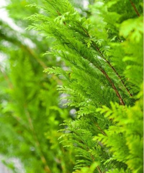 Western Red Cedar Hedging - Thuja plicata - Trees by Post
