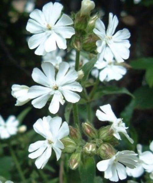White Campion - Silene alba - Trees to Plant