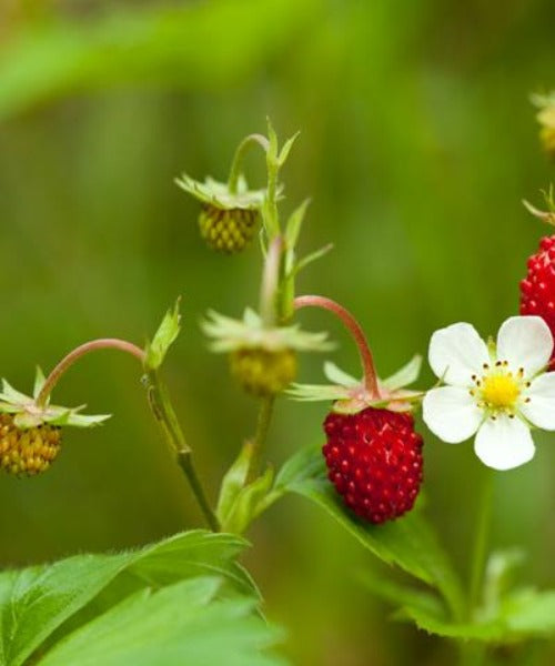 Wild Strawberry - Fragaria vesca - Trees by Post