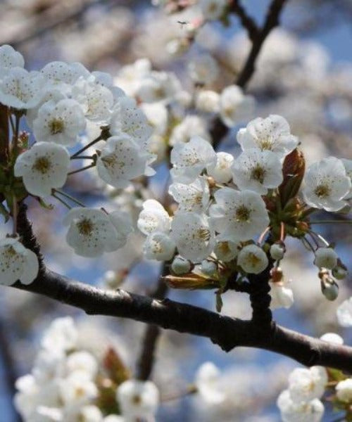 Wild Cherry Trees - Prunus avium - Trees to Plant