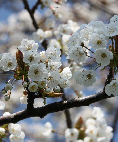Wild Cherry Tree Gift - Trees to Plant