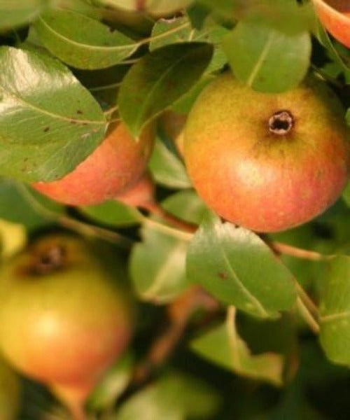 Wild Pear Trees - Pyrus communis - Trees to Plant