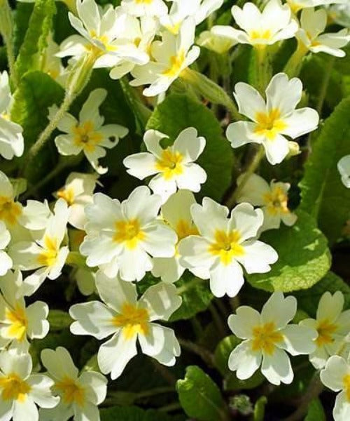 Wild Primrose - Primula vulgaris - Trees by Post