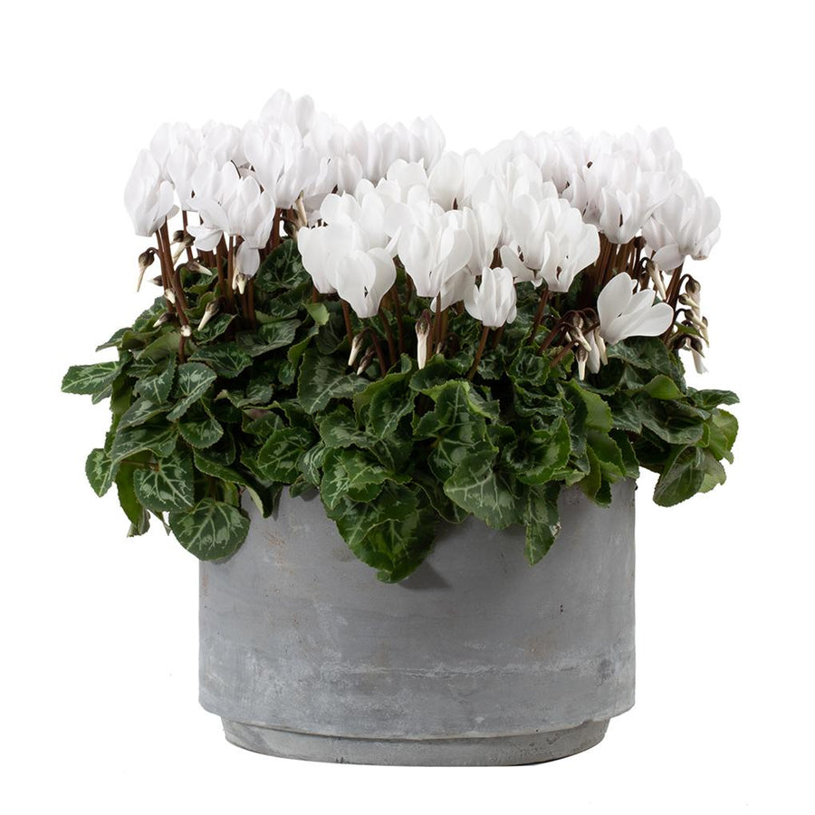 The Cyclamen Planter - Hayford & Rhodes International