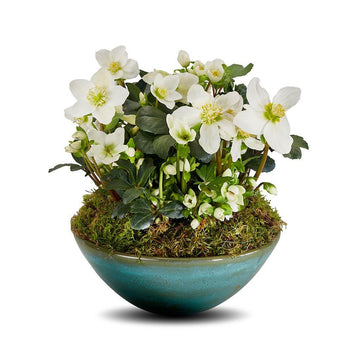 The Helleborus Planter