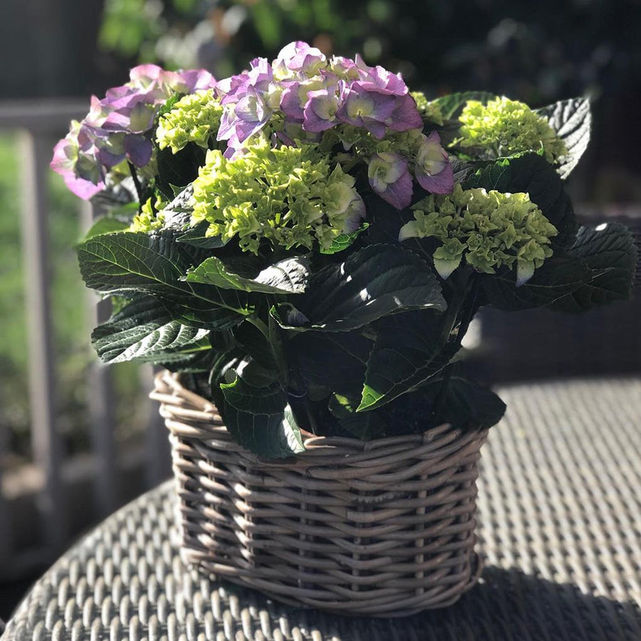 The Hydrangea Planter