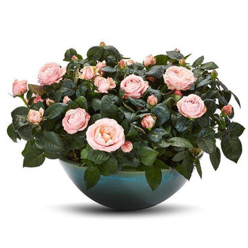 The Pink Rose Planter