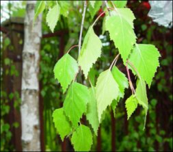 Birch Leaf - Bulk Organic - 8 oz