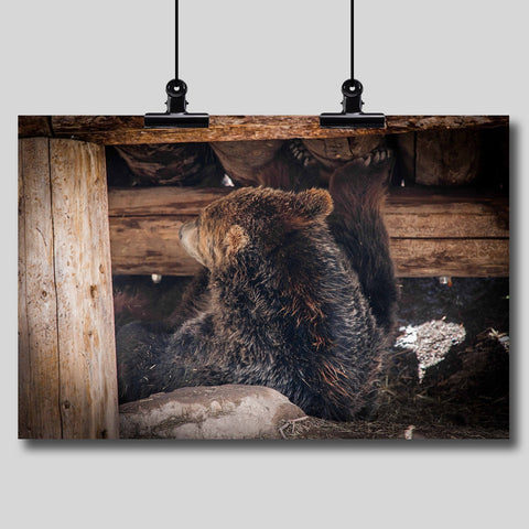 Photo Print: Grizzly Bear Under the Cabin
