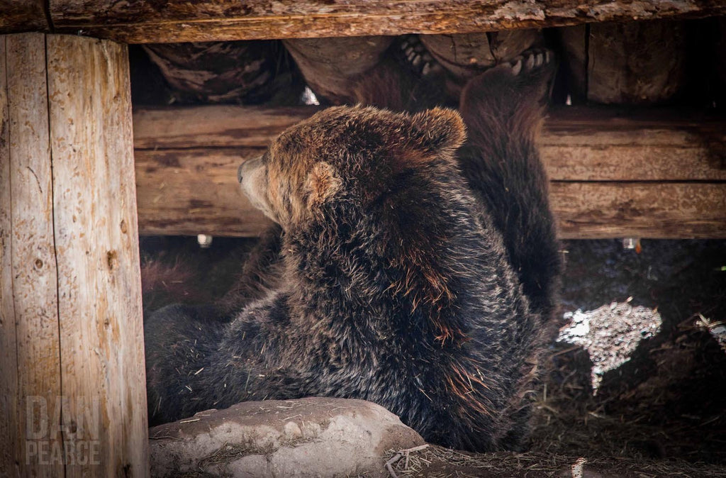 Photo Print: Grizzly Bear Under the Cabin - Dan Pearce Creative Shop