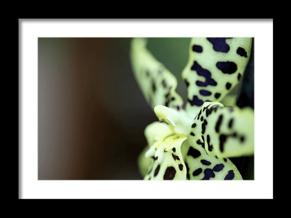 Photo Print: Leopard Spotted Orchid - Dan Pearce Creative Shop