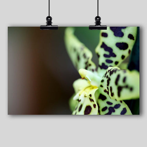 Photo Print: Leopard Spotted Orchid