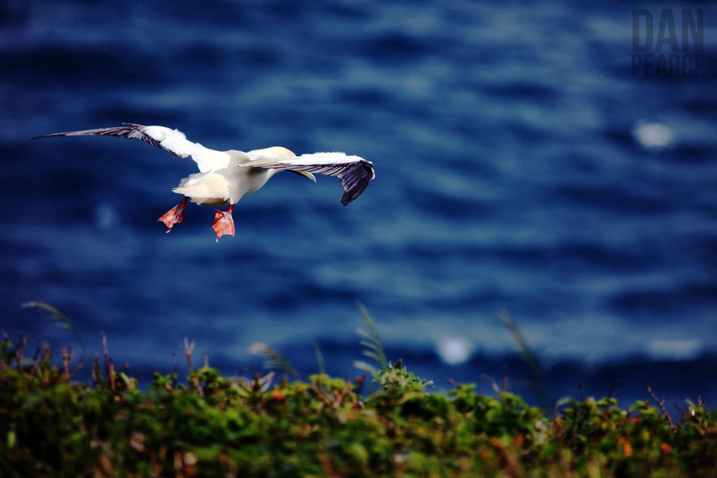 Photo Print: Redfooted Booby (Seabird) - Dan Pearce Creative Shop
