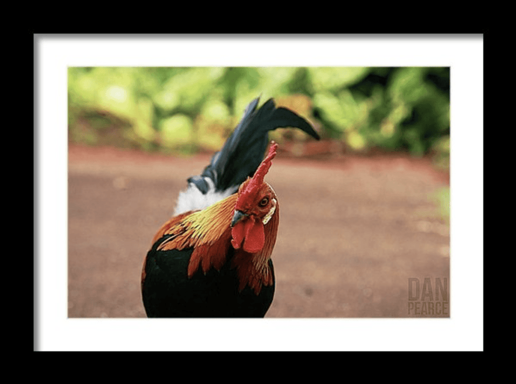 Photo Print: Wild Rooster in Hawaii - Dan Pearce Creative Shop
