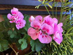 Therapeutic Grade Geranium Essential Oil