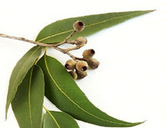 Therapeutic Grade Eucalyptus Essential Oil
