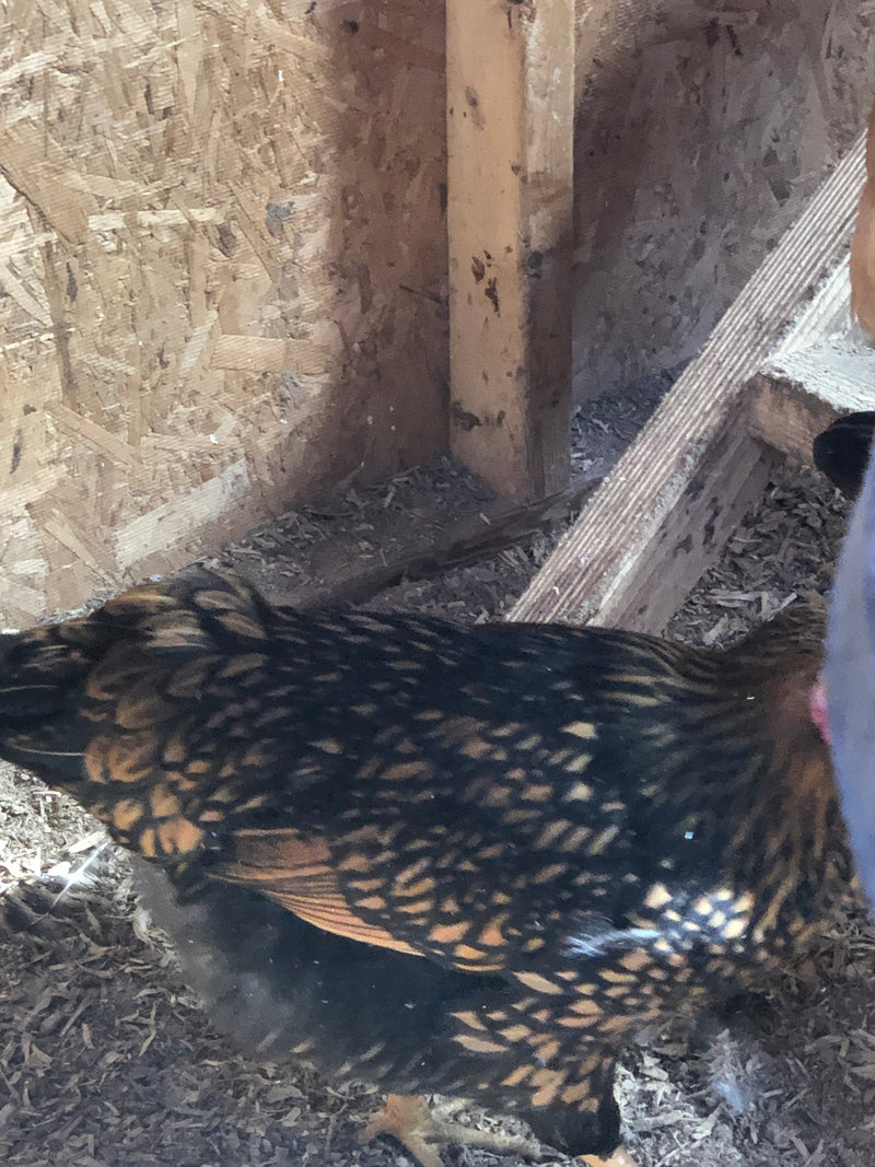 Gold Laced Wyandotte -- Coop Ready