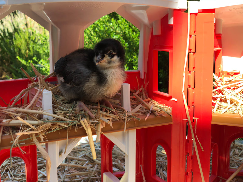 Black Copper Marans -- Upcoming Hatches -- Female