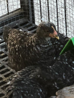 Barred Rock -- Upcoming Hatches -- Female