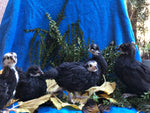 Black Australorp -- Coop Ready