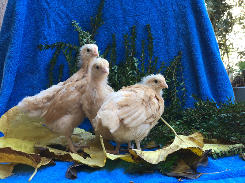 Buff Orpington -- Coop Ready