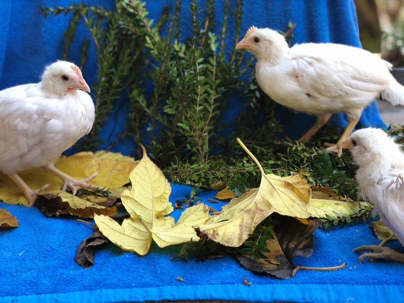 White Leghorn -- Upcoming Hatches -- Female