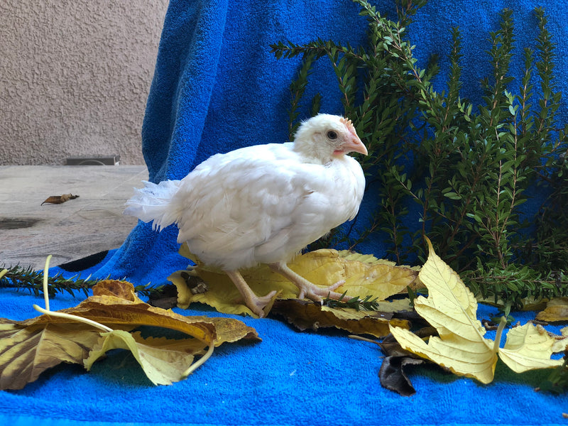 White Leghorn -- Available Now