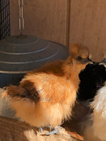 Silkie Bantams -- Any Color -- DNA List