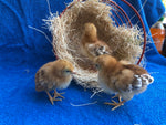 Rhode Island Red -- Upcoming Hatches -- Female