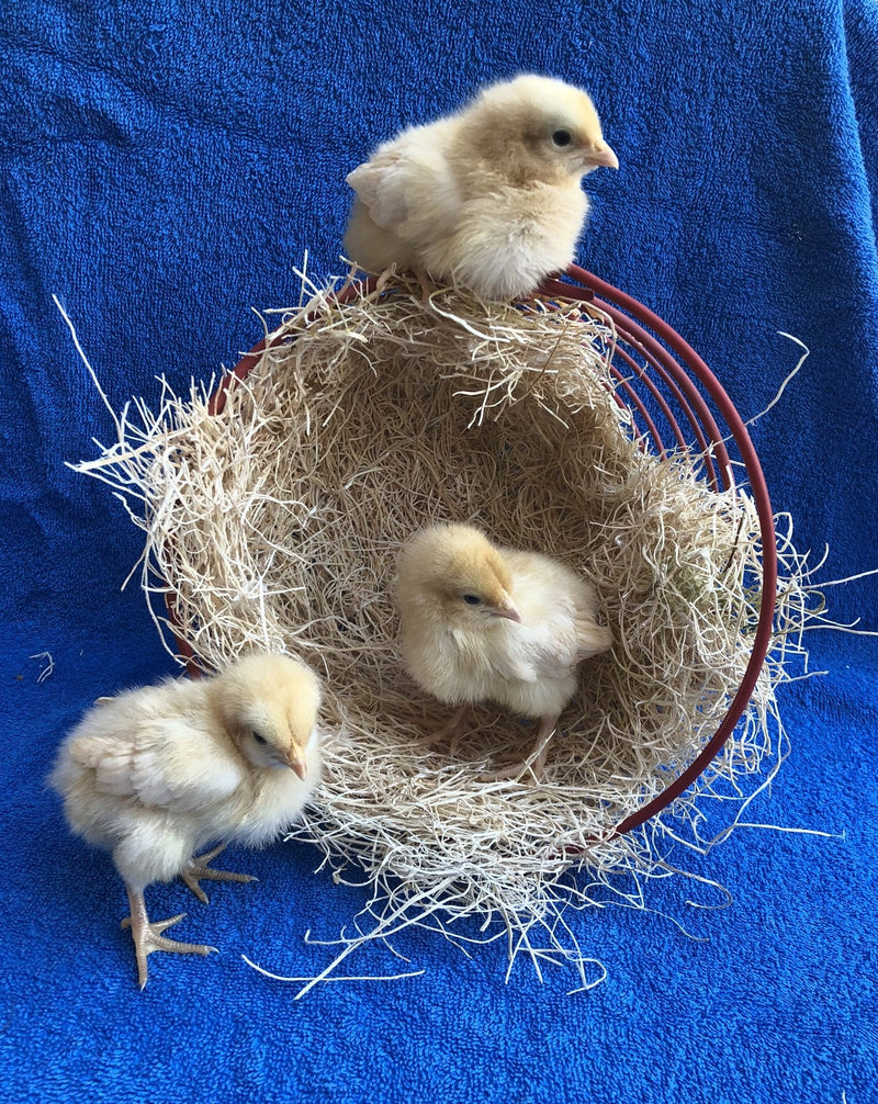 Buff Orpington -- Upcoming Hatches -- Female