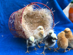 Polish Crested Bantam -- Available Now