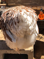 Splash Laced Red Wyandotte -- Coop Ready -- Female