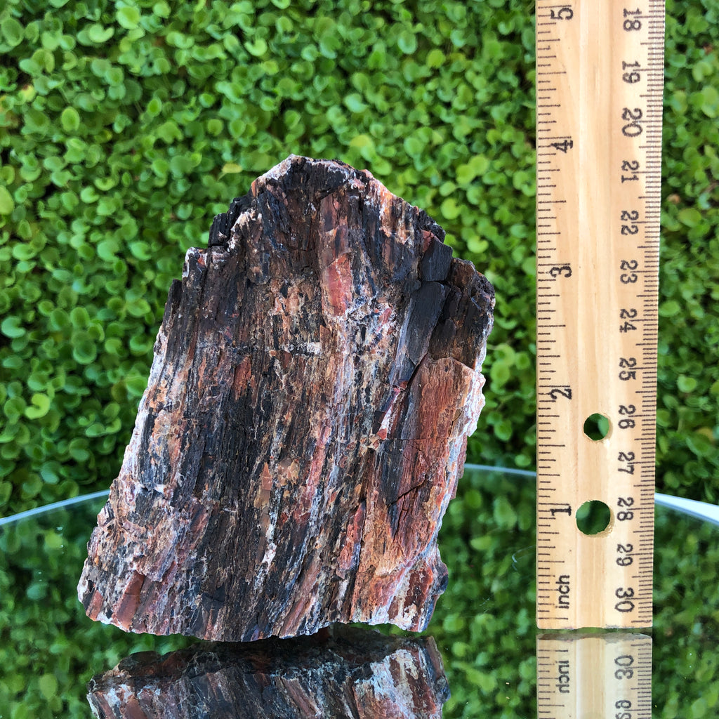305g 7x11x3cm Brown Petrified Wood from Madagascar