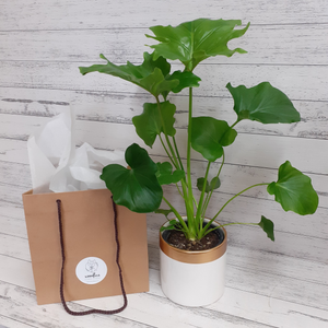 Philodendron Hope - Woodlea Floral Studio - Plants for Gifts