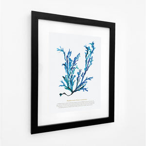 Bladderwrack Watercolour Print SeaKisses Wall Art-SeaKisses