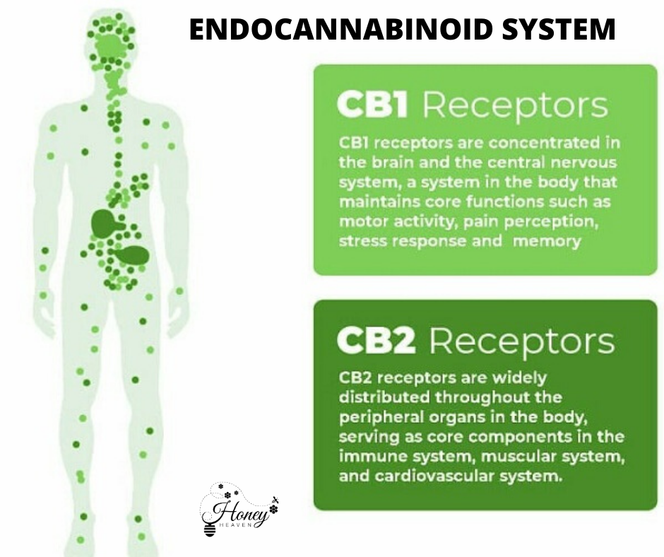 role of the endocannabinoid system