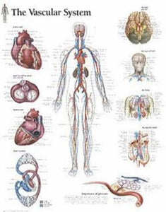 The Vascular System Chart: Laminated Wall Chart