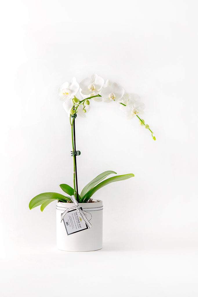 Potted Phalaenopsis Orchid in Ceramic
