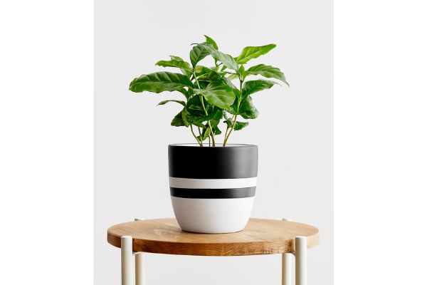 Potted Coffee Plant