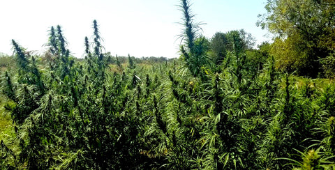 Kentucky Green Grass Hemp Field